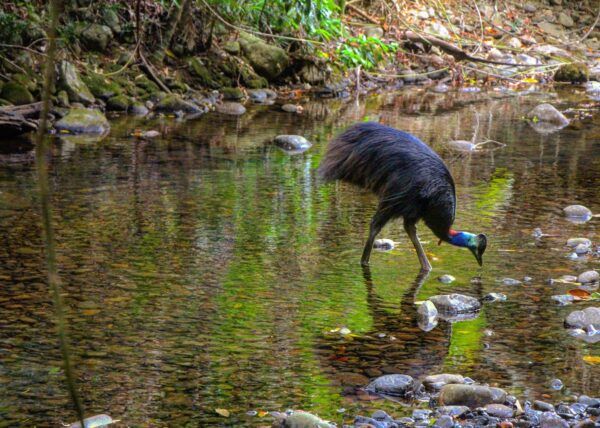 @angelinamgl13 Edit Cassowary Daintree Rainforest