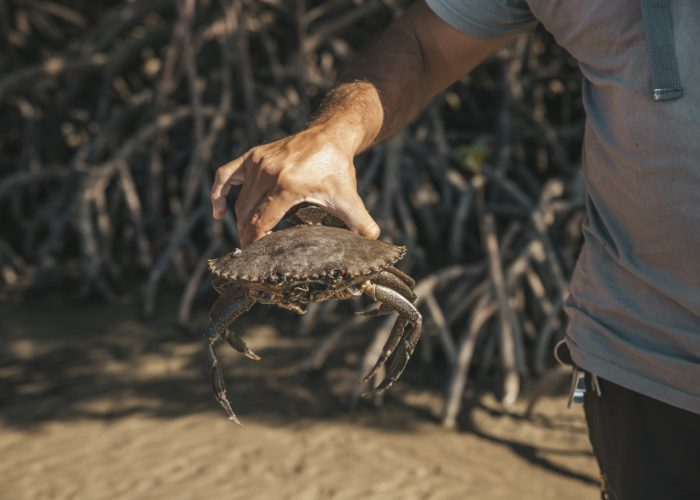 Freshly Caught Mud Crab On Walkabout Cultural Adventures